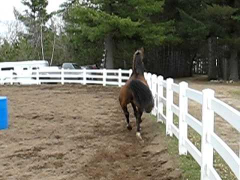 Sammy the Saddlebred: the power trot