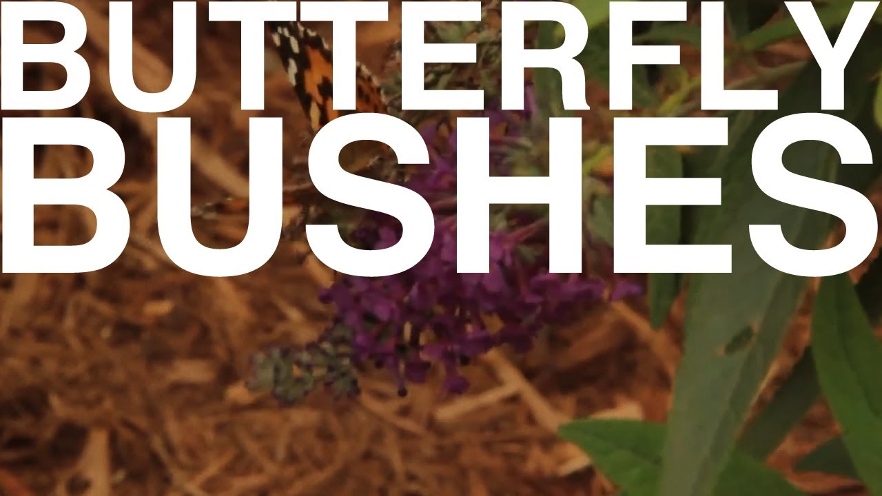 Butterfly Bushes | The Garden Home Challenge With P. Allen Smith ...