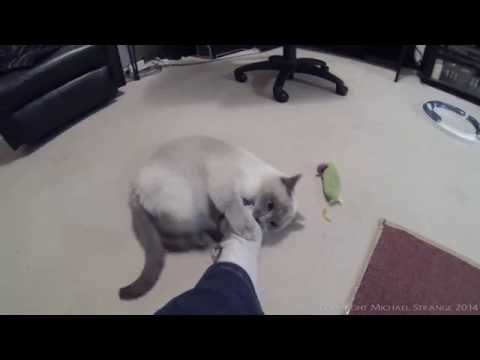Ragdoll Cat Playing With My Foot - PoathTV Funny Cat Video - PoathCats