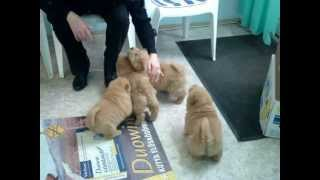 Bear Coat Shar Pei Puppies From Hungary