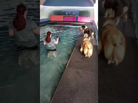 Top ranking show dog Australian Shepherd Jo Shmo swims with Great Dane Texas and Sheltie