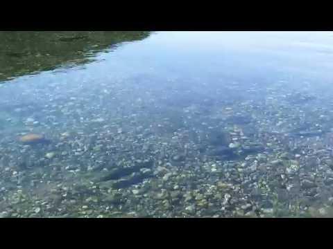 Truchas en el Río Limay - Patagonia Argentina