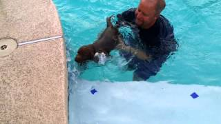 Chocolate Labrador Retriever Swimming In The Big Pool 6 Weeks Old