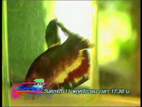 ปลากัดไทยแม่แบบแห่งการเรียนรู้