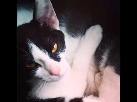 WOW! The Ulitmate British Cat Trick