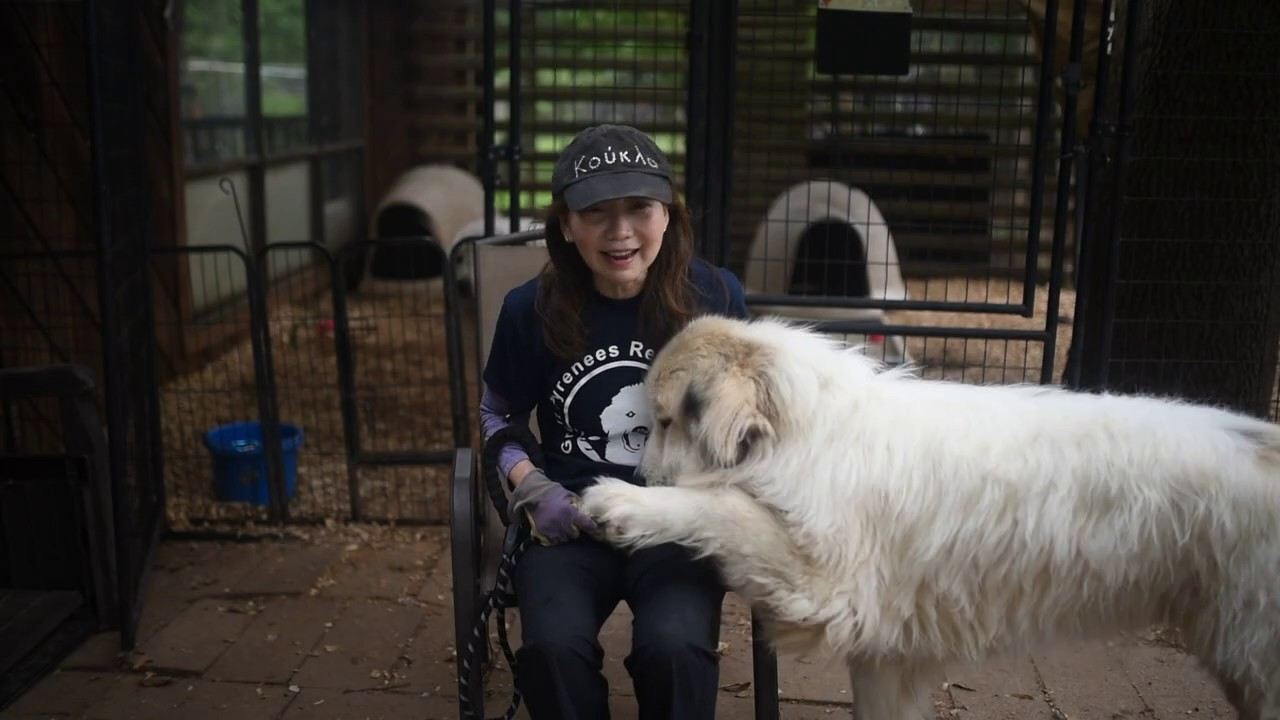 A Day in the life of Great Pyrenees Rescue volunteers ...