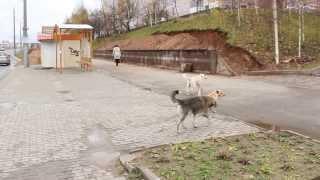 Витебск собаки перебегают дорогу на Чкалова