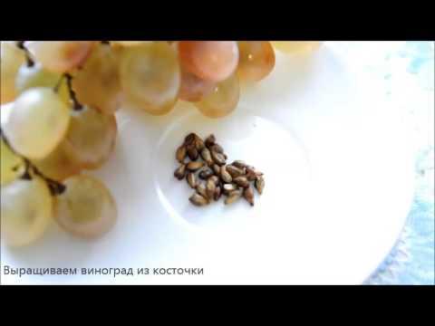 Как вырастить виноград из виноградной косточки.
