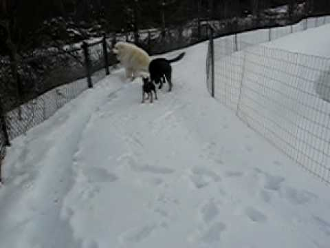 Lilly snow boot zoomies.AVI