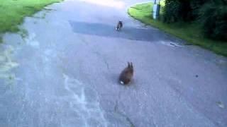 Kanin jagar katt.