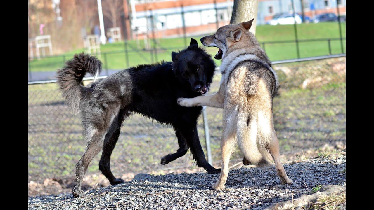 Czechoslovakian Wolfdog Lovec The Dawg Park Ii Happy