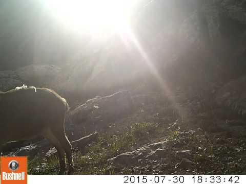 Young ibex caught in a camera trap in the Tien Shan mountains