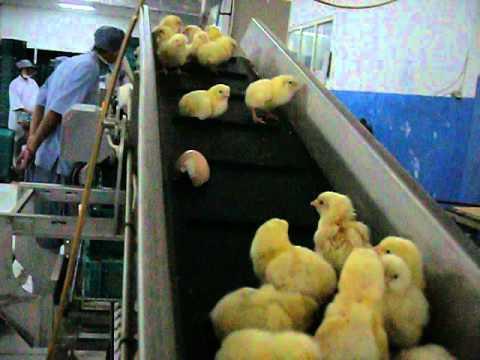 Grading Day Old Chick (DOC) di Perusahaan Peternakan Modern