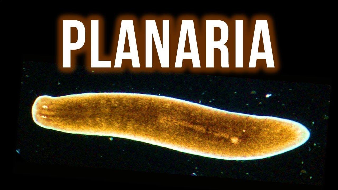a tej planaria parazita)