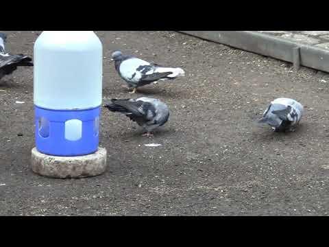 Мои николаевские сизые голуби ,2020 г второй (фильм)