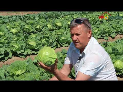 Глобус F1 (Globus) - Ранняя капуста | белокочанная | белокочаная | выращивать | рассада | капусты | капусту | капуста | кабуста | семена | ранняя