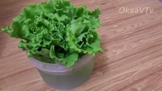Как удалить горечь из листового салата. How to remove bitterness from leaf lettuce.