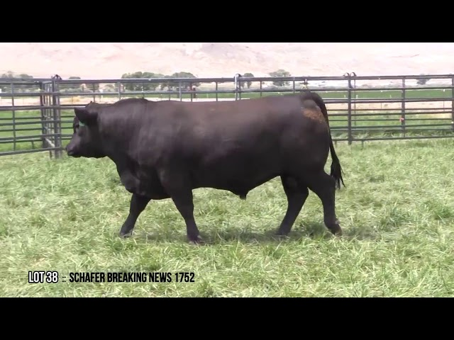 Mid Valley Bull Sale Lot 38