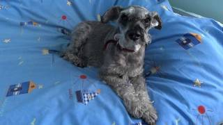 Trudi - My Beloved Miniature Schnauzer, Aged 15 (hd)