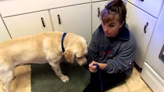 Labrador Cnm Genetic Marker Test Animal Genetics Tallahassee Fl