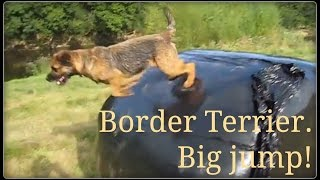Border Terrier Does Big Jump.