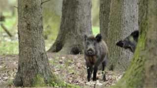 leśne duchy - dziki / forest ghosts - boars