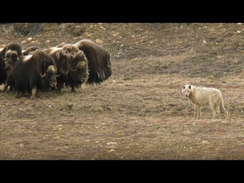 Wolves vs Herd of Muskox | Snow Wolf Family And Me | BBC Earth