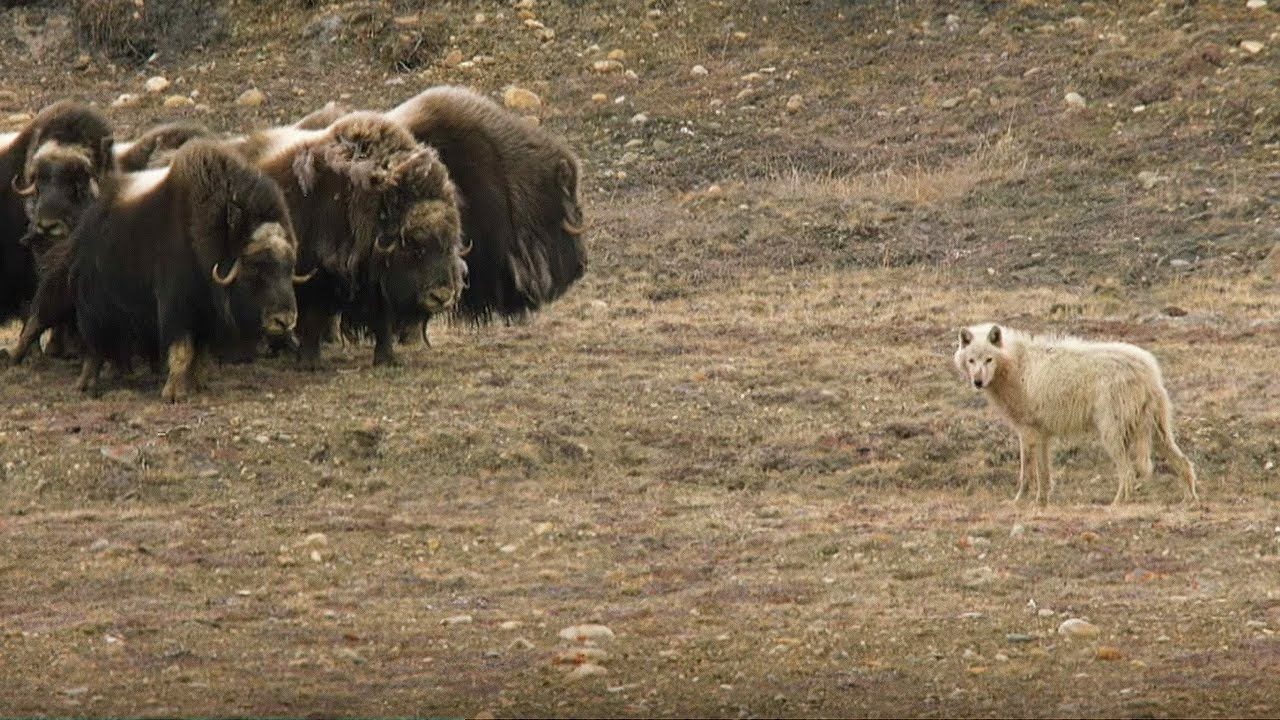 wolves vs herd of muskox snow wolf family and me bbc earth youtube