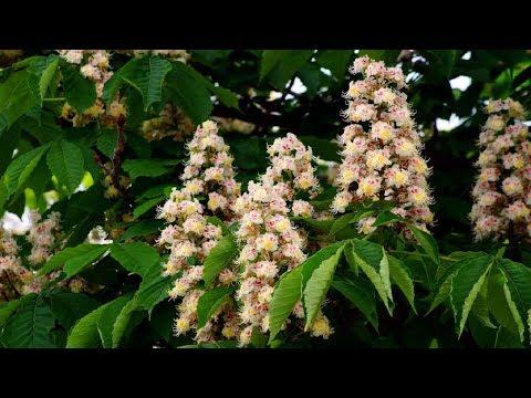 Настойка из цветов каштана не только вены лечит.