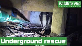 Injured badger rescued from tiny crawlspace!
