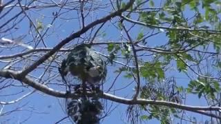 Chim cu gáy mồi cây tuyệt đỉnh - bẫy cu gáy