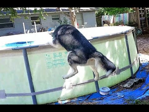 Alaskan Malamute Abandoned for a night goes Crazy when his Momma Comes Home!!!!