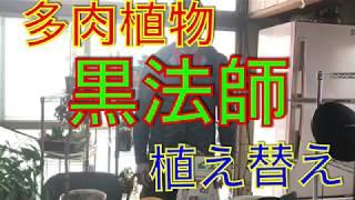 多肉植物 黒法師植え替え(アエオニウム属)