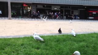 オーストラリアのメルボルンで、喧嘩する鳥を仲間達が追いかけて仲裁を...