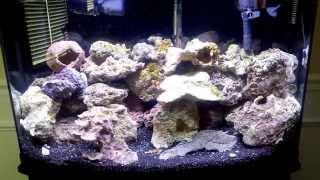 new 36 gallon bow front saltwater aquarium set up month 1