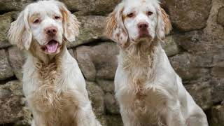 Clumber Spaniel  Dog Breed  Pet Friend