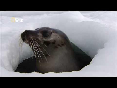 Arctique : Les phoques du Groenland