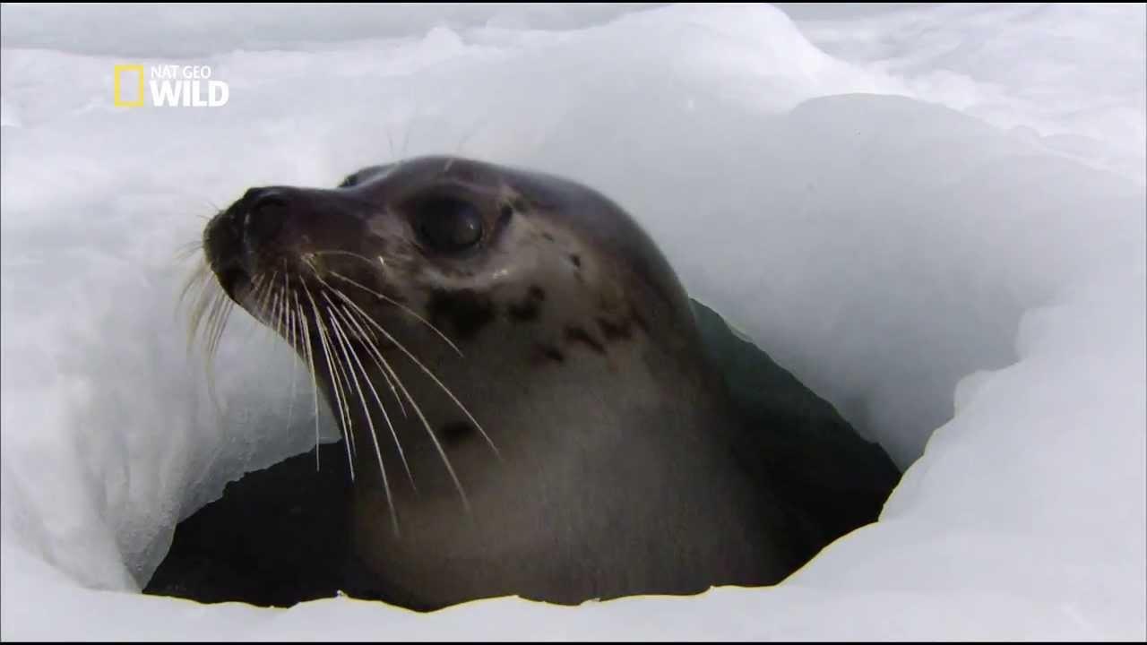 Arctique les phoques du groenland youtube - Animaux pole nord ...
