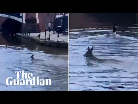 Doe! Disoriented deer dodges cars then swims in Manchester canal