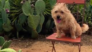 Chester the Cairn Terrier