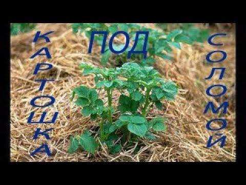 Как вырастить картофель под соломой