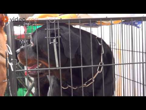 Black Labrador Breed dog watching before all dogs show 2013