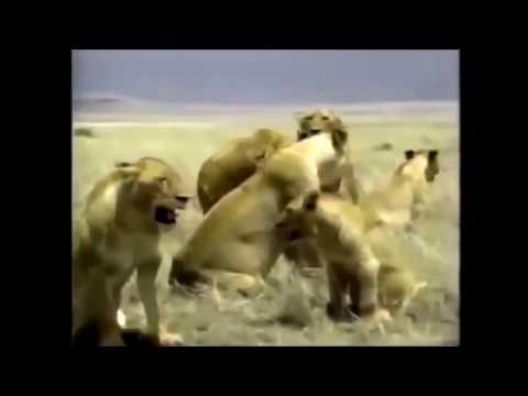 Documentary   Crater Lions of Ngorongoro African Animals Wildlife   Full Documentary