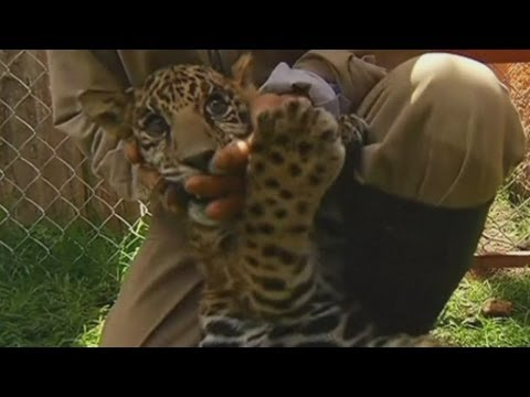 """Jaguars are already one of the world's most endangered species, but one of the two cubs on display at Zacango Zoo in Mexico is even more…"