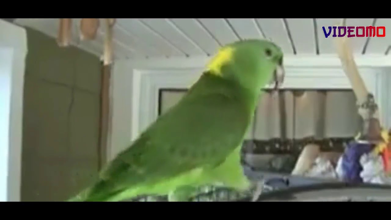 Parrot (Boozle) Singing Birthday song - Happy Birthday to you