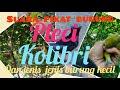 Suara Pikat Burung Pleci Kolibri Dan Berbagai Macam Burung Kecil  Mp3 - Mp4 Download