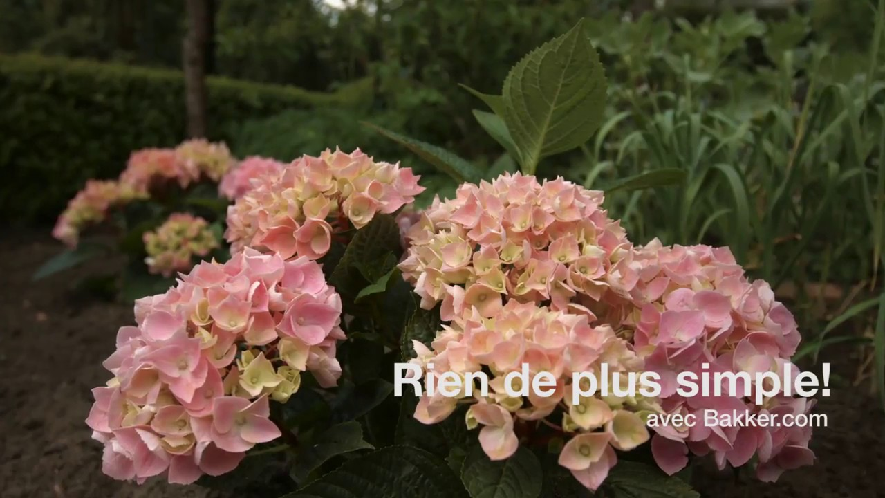 comment planter un hortensia youtube. Black Bedroom Furniture Sets. Home Design Ideas