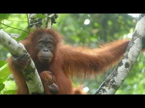 Amazing Sumatran Orangutans - Gentle Giants from the Gunung Leuser National Park Rain Forest