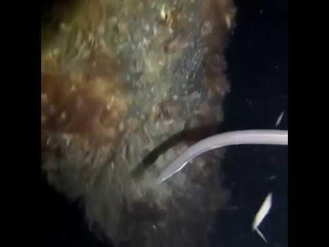 Short Headed Worm Eel Navigates Underwater Areas