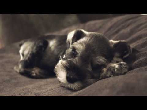 Cute Puppy Sleeping Snoring Dreaming And Twitching